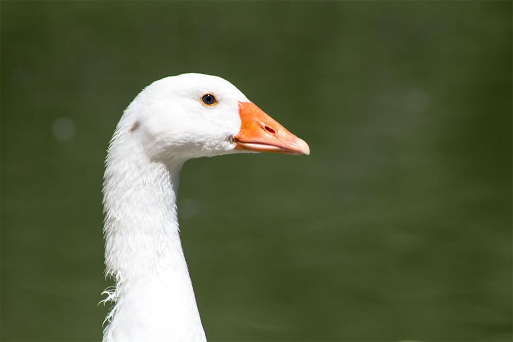 Primer plano de un pato